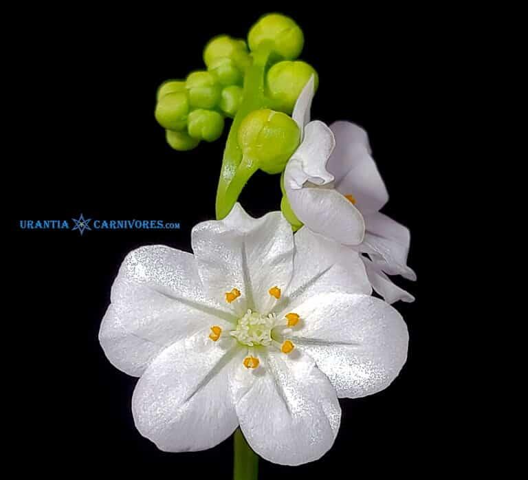 Drosera Petiolaris Complex Seeds