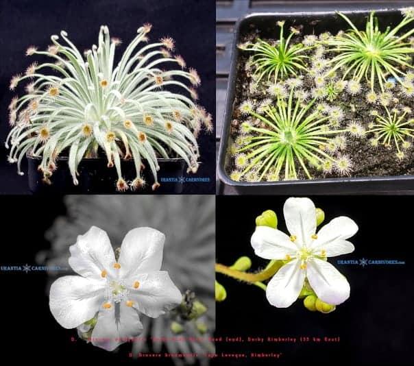 Drosera derbyensis broomensis