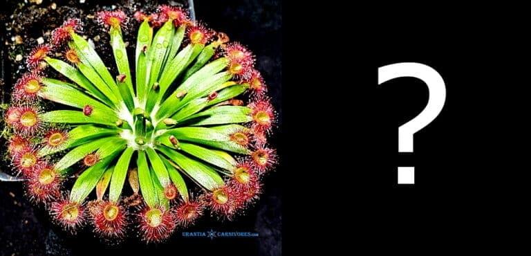 Drosera fulva 'Noonamah' Flooded Zone Hybrid Seed