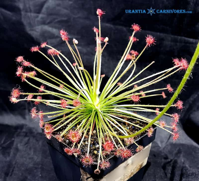 Drosera Paradoxa 'Drysdale River Station' (100 km north)