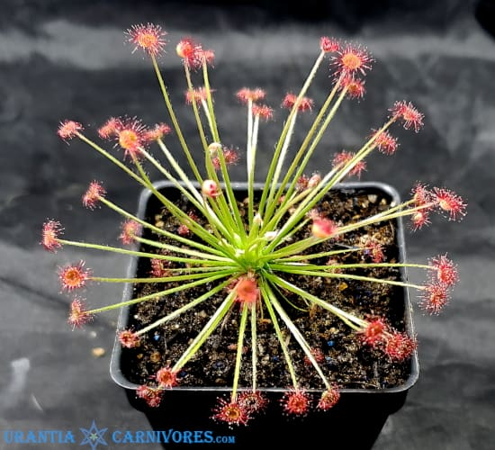 Drosera Paradoxa 'Drysdale River Station' (100 km north) Thumbnail