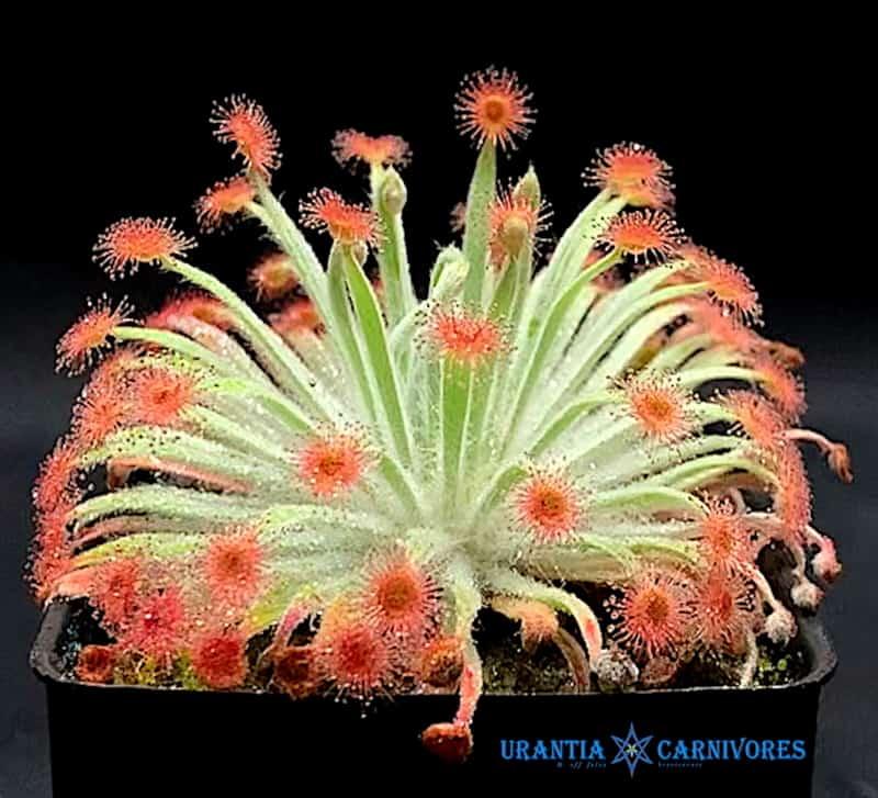 Drosera aff. fulva x brevicornis
