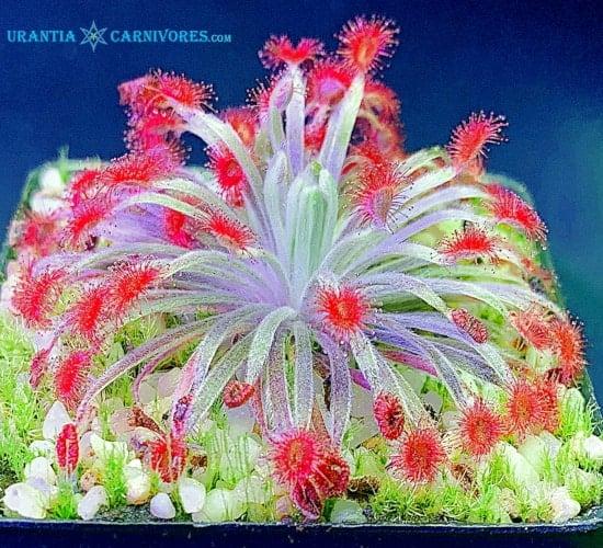 Drosera aff ordensis x darwiniensis