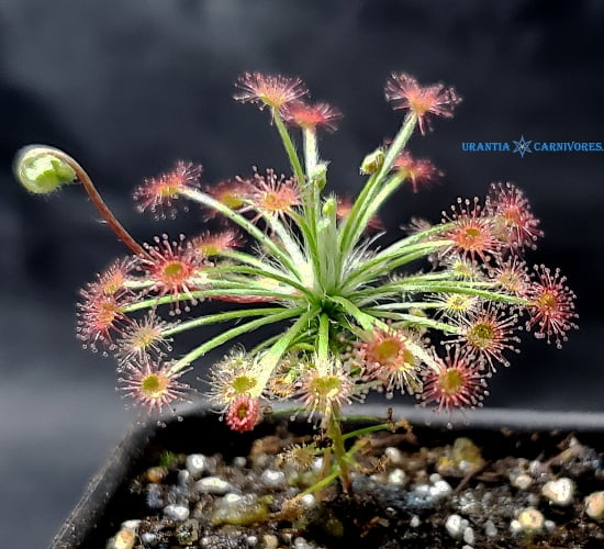 "Drosera aff. paradoxa ""orange flowers"" Mount Bomford, Kimberley, W. A."