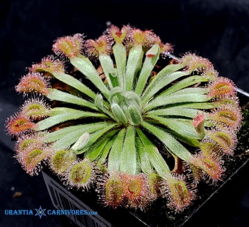 Drosera brevicornis 'Bynoe Haven'