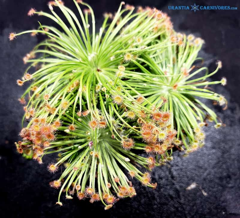 Drosera broomensis 'Deep Creek'
