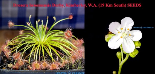 Drosera broomensis 'Derby' (19 Km South) Seeds