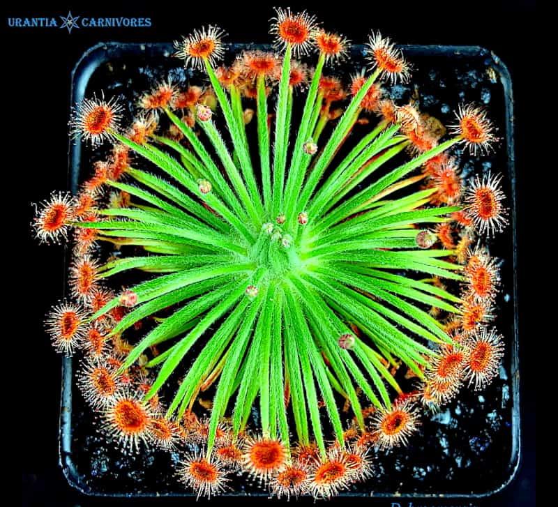 Drosera broomensis Taylor's Lagoon'