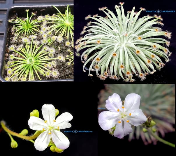 Drosera broomensis 'Cape Leveque' x Drosera derbyensis 'Derby-Gibb River' Seeds