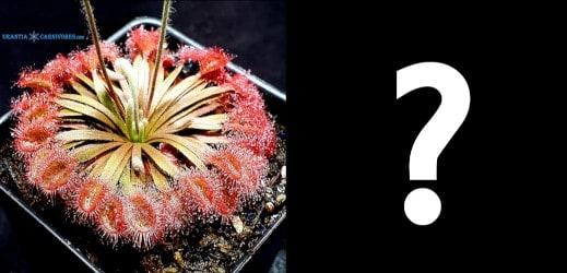 Drosera darwinensis Berrimah, Hybrid