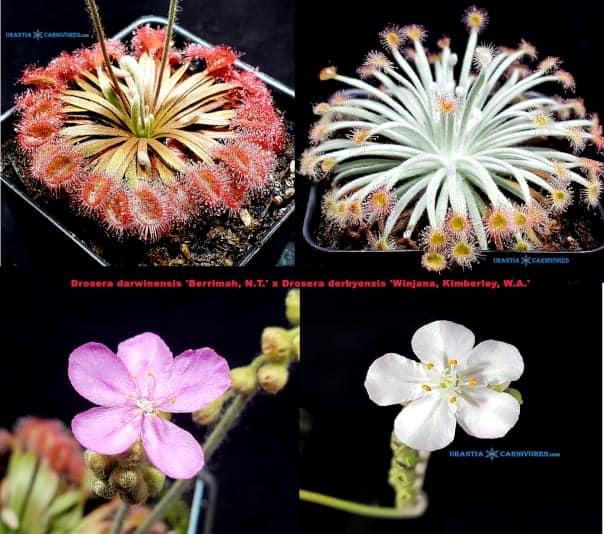 Drosera darwinensis 'Berrimah' x Drosera derbyensis 'Winjana' Seeds