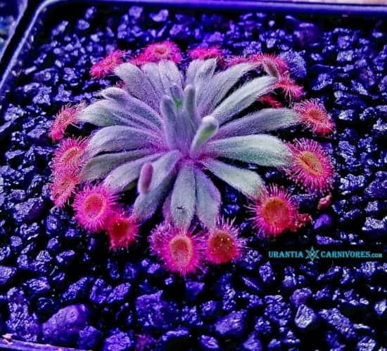 Drosera darwinensis x ordensis (2) Cover