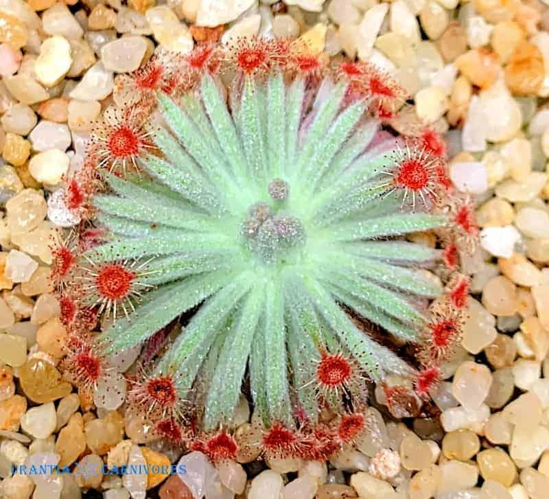 Drosera derbyensis 'Beverley Springs'