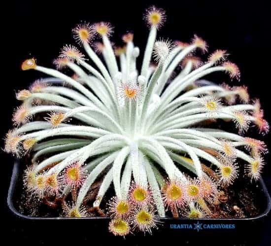 Drosera derbyensis 'Winjana'
