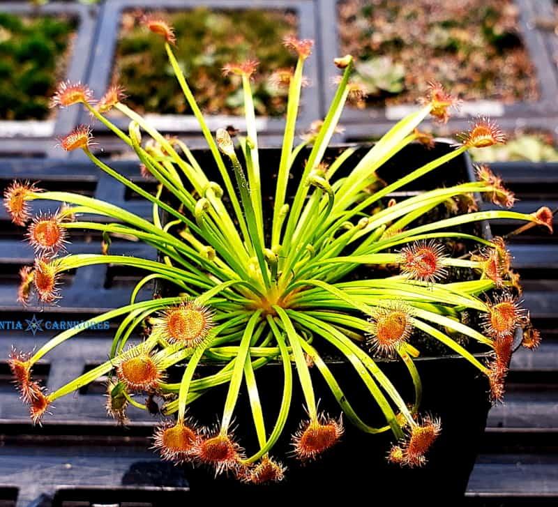Drosera kenneallyi x dilato-petiolaris
