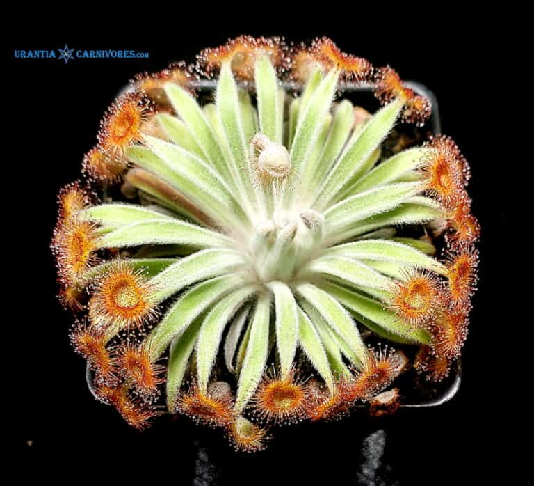 Drosera ordensis 'Mirama, Kimberley' (near type area Kununurra) (5)