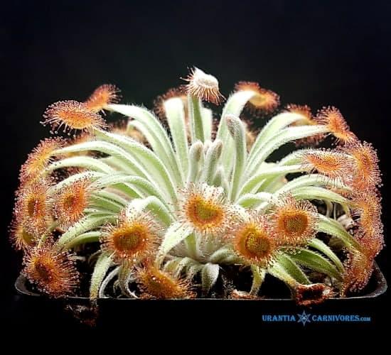 Drosera ordensis 'Mirama, Kimberley' (near type area Kununurra) Cover