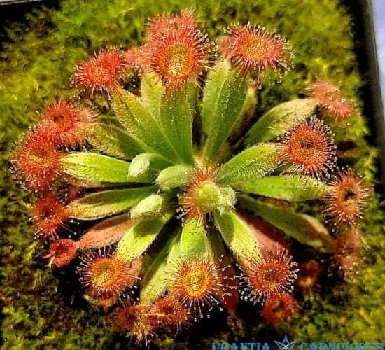 Drosera (ordensis x brevicornis) x darwiniensis Cover