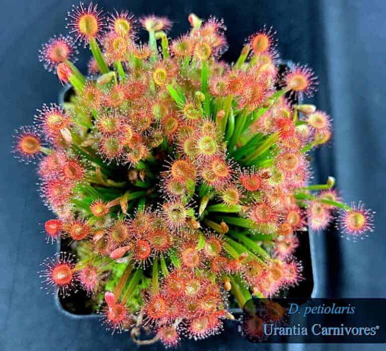 Drosera petiolaris