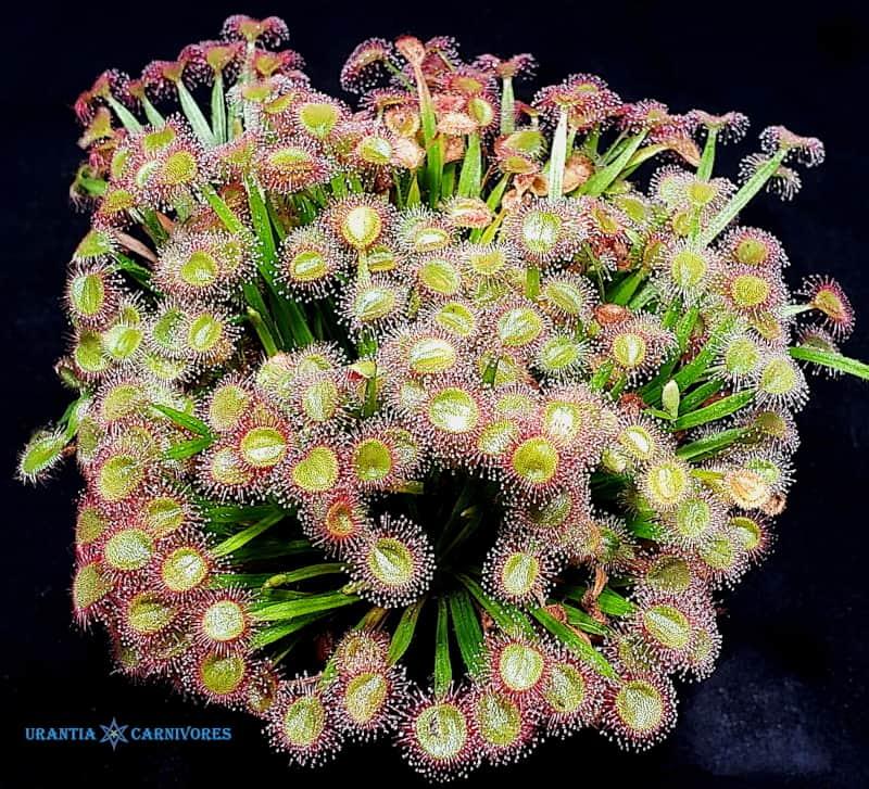 Drosera petiolaris x darwinensis
