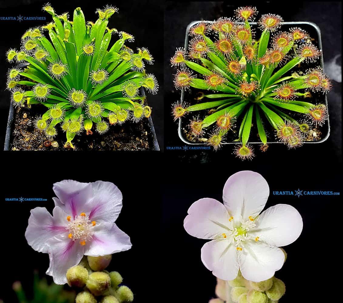 Drosera fulva 'Girraween' x Drosera fulva 'Aposta' Seeds