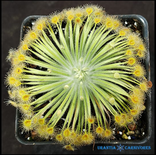 Drosera broomensis 'Coulomb Point' (60 km north)