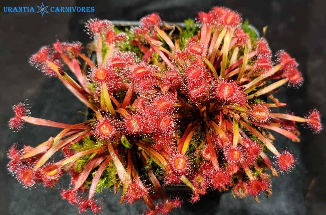 Drosera dilatato-petiolaris 'Mt Bomford'