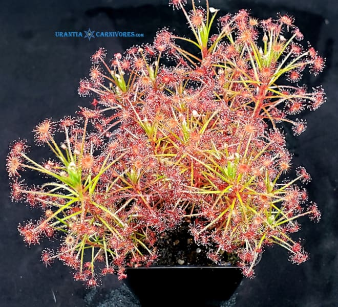 "Drosera paradoxa ""robust growing swamp form"""