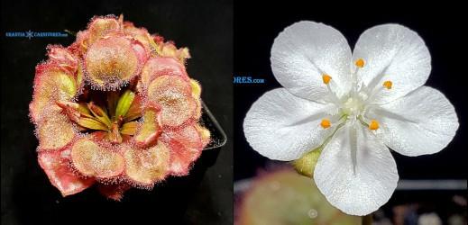 Drosera Falconeri 'Wangi' Seeds