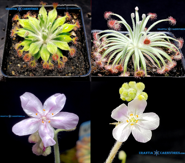 "Drosera aff. ordensis 'Kingston Rest (North) ""Very Wide Leaf"" x Drosera derbyensis 'Erskine Ranges' Seeds"