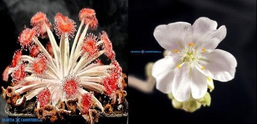 Drosera aff. ordensis 'Kingston Rest' Seeds