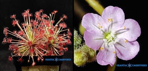 Drosera aff. paradoxa swamp form 'Theda' seeds