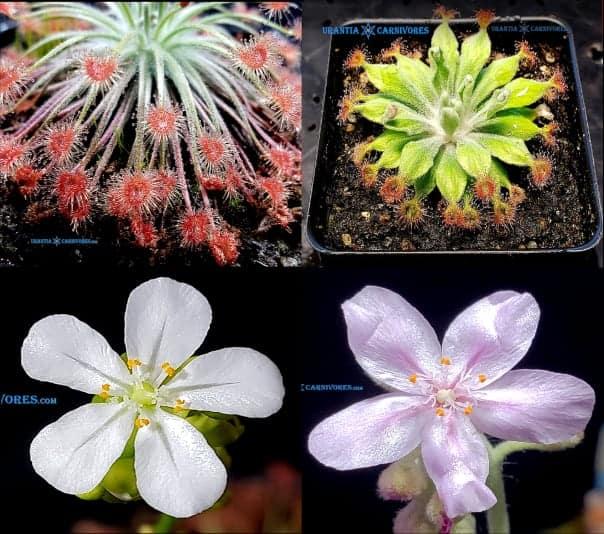 Drosera broomensis 'Cape Levique (12 km South) x Drosera aff. ordensis 'Kingston Rest' (North)