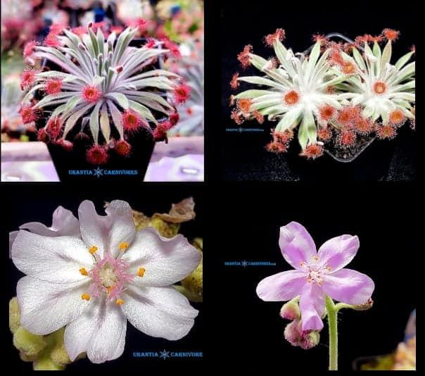 D. ordensis \'Kununurra\' (21 km East) x D. aff. ordensis \'Kingston Rest, Kimberley (North) Seeds