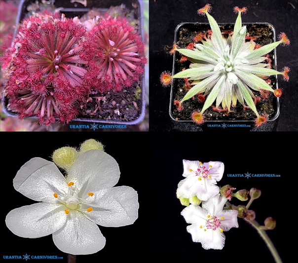 Drosera aff. lanata 'Flying Fox Creek' x Drosera aff. ordensis 'Timber Creek' Seeds