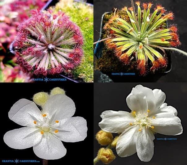 "Drosera aff. lanata 'Flying Fox Creek' x Drosera ordensis 'Beverley Springs' ""narrow leaf form"" Seeds"