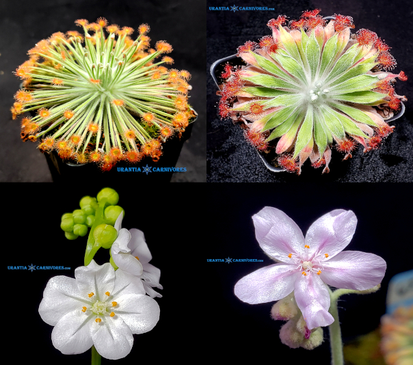 Drosera broomensis 'Deep Creek' x Drosera aff. ordensis 'Kingston Rest (North) VWL Seeds