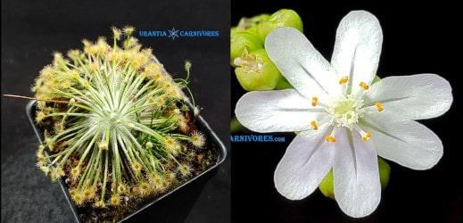 Drosera broomensis 'Derby, Kimberley (20 km south) Seeds