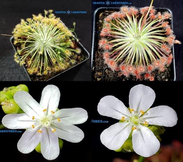Drosera broomensis 'Derby, Kimberley (20 km south) x  Drosera broomensis 'Cape Levique' (12 km South) seeds