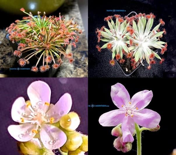(Drosera broomensis x petiolaris) x Drosera aff. ordensis 'Kingston Rest (North) Seeds