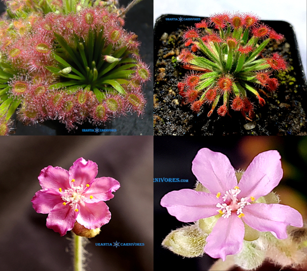 "(Drosera darwinensis x brevicornis) x Drosera fulva 'Arnhemland' ""mini plant form"" Seeds"