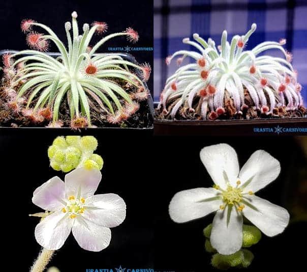 Drosera derbyensis 'Erskine Ranges' x Drosera derbeyensis 'Derby' Seeds
