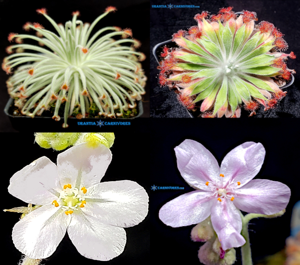 "Drosera derbyensis 'Erskine Ranges' x Drosera aff. ordensis 'Kingston Rest (North) ""Very Wide Leaf"" Seeds"