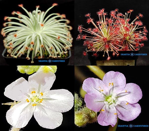 Drosera derbyensis 'Erskine Ranges' x Drosera aff. paradoxa 'Theda' Seeds