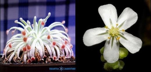 Drosera derbyensis \'Derby\' Seeds