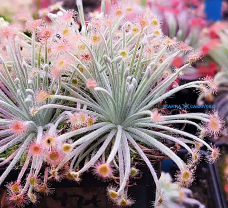 """Drosera lanata """"type"""" Lotus Glen (2)"""
