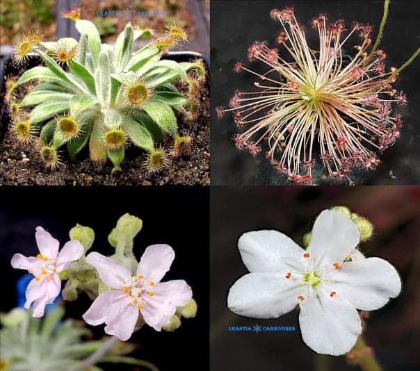 Drosera ordensis 'Stonewall' x Drosera Paradoxa 'Drysdale River Station' (100 km north) Seeds