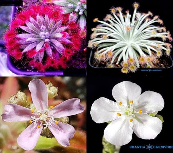 (Drosera ordensis x falconeri) x (Drosera aff. ordensis) x Drosera derbyensis 'Winjana' Seeds