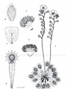 Drosera Dilatato-Petiolaris Plant Body Diagram